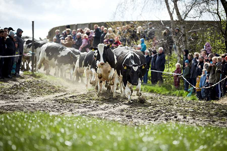Økodag - køerne lukkes ud på græs